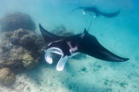 manta ray brainpower blows other fish out of the water oceana