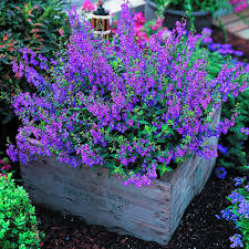 serena angelonia purple angelonia angustifolia drought and