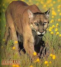 Kansas wildlife images Kansas wildlife parks and tourism 2016 mountain lion report jpg