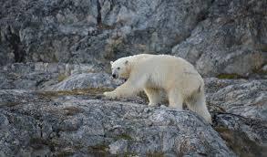 polar bear watch u2013 mini blogs u2013 national geographic society blogs