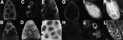 germline cell death is inhibited by p element insertions