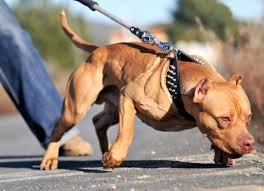 american pitbull terrier in bangalore top 10 most expensive dog breeds in india pethelpful