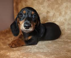 Black And Tan Beagles Getalong Little Doxie Colors Pattern Coats