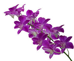 Orchid Plants Aphis To Allow The Importation Of Korean Orchid Plants Safnow Org