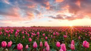 Tulip Field Beautiful Sunset Pink Tulip Flowers At Skagit Valley Tulip