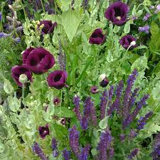 Salvia Flower Heirloom Poppy And Salvia Flower Seed Mix Magenta Poppy Seeds