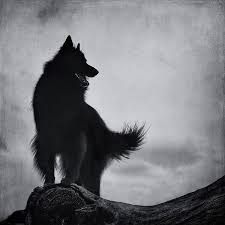 belgian shepherd black 14 best belgian sheepdog groenendael images on pinterest