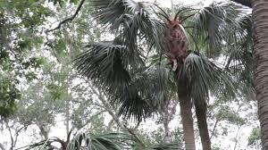 subtropical backyard saw palmetto palmetto palms u0026 hardwood trees