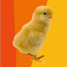 animali da cortile in regalo a pasqua basta con il solito uovo regala il pulcino oxfam italia