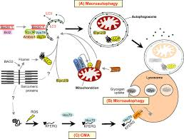 cellular and molecular mechanisms of muscle atrophy disease
