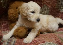 goldendoodle puppy virginia buying a puppy from debs doodles in virginia goldendoodle and