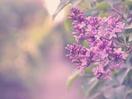 lilac flowers wallpaper lilac flowers