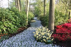 keukenhof flower gardens tulips in holland flower update 7 the tulip fields in bloom