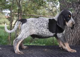 bluetick coonhound price pedigree for white deer blue rooster x white deer blue zee u0027s pups