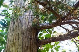 of a tree the cedar of cedar tree neck the martha s