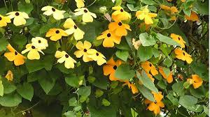 15 summer flowering vines and climbers grow beautifully
