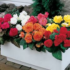 begonia flower nonstop mix begonia seeds from park seed