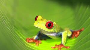 eyed eyed tree frog documentary