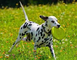 dalmatian famous spotty dog