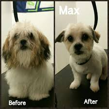 max the shih tzu puppy before and after first haircut yelp