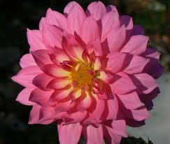 flower petals file dahlia flower petals pink dahlia jpg wikimedia commons