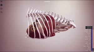 Dog Anatomy Organs Canine Abdomen Preview 3d Veterinary Anatomy Ivala Youtube