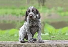 affenpinscher puppies for sale in ohio german shorthaired pointer puppies for sale akc puppyfinder