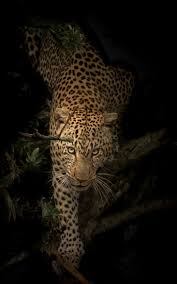 Cat Trees For Big Cats Via 500px Stare U2026 U2026 By Riyaz Quraishi Incredible Animals And