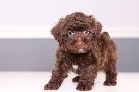 australian shepherd yorkie yorkie poo puppies for sale