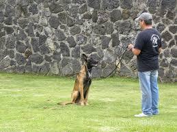 belgian sheepdog houston tx gallery u2013 texas k9 training u2013 professional dog trainers in