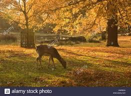 uk cheshire dunham massey park autumn foliage and deer in warm