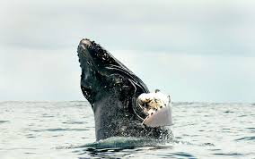 commercial shipping lanes changed in panama to save humpback