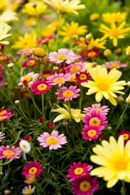Girls Favourite Flowers - i couldn u0027t contain my excitement when i found these marguerite