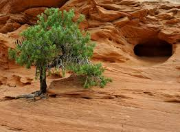 native arizona plants members of the juniperus genus