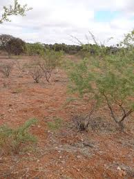 list of native australian plants common plants in the rangeland shrublands agriculture and food
