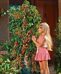 buy creeping strawberry u0027bakker u0027s kingsize u0027 bakker com