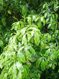 native plants of nz pittosporum eugenioides wikipedia