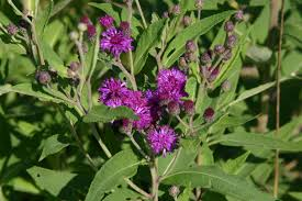 native illinois plants iron weed