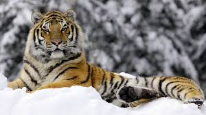 tiger in winter wallpapers hd wallpapers