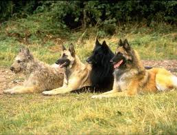 belgian shepherd dog club of canada the 25 best dutch shepherd breeders ideas on pinterest black