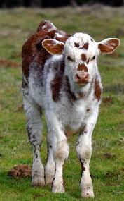 91 best cattle images on pinterest longhorn cattle texas