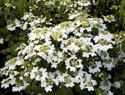 White Flowering Shrub - summer snowflake viburnum monrovia summer snowflake viburnum