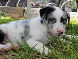australian shepherd beagle mix successful placements