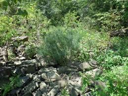 arkansas native plants pine bluestem project native expeditions