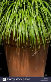 potted ornamental grass stock photo royalty free image 24483677