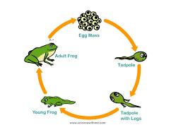 frog life cycle science showme