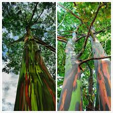 Rainbow Eucalyptus Online Cheap Heirloom 50 Hawaii Rainbow Eucalyptus Seeds Bonsai