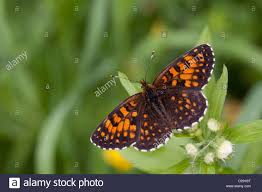false heath fritillary butterfly melitaea diamina