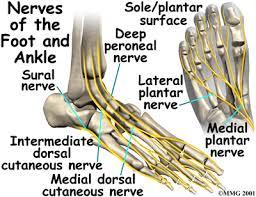 Nerves In The Knee Anatomy Ankle Anatomy Eorthopod Com