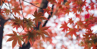 maple symbolism information and planting